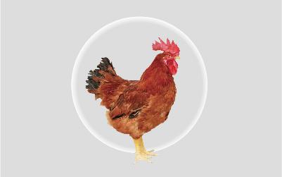薩索肉雞C44